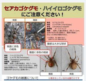 セアカゴケグモの画像 p1_38